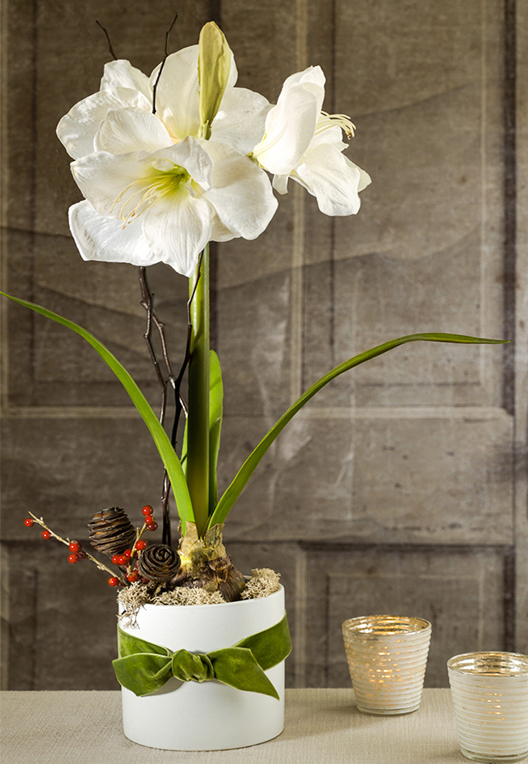 Amaryllis plant with stunning, long lasting blooms