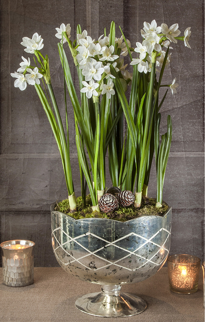 Live narcissus paper white bulbs planted in a pedestal bowl for the holidays